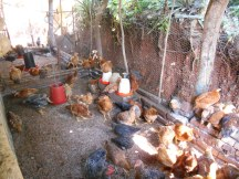 Rearing chickens for eggs and meat