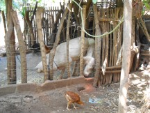 Pigs in the front of the house